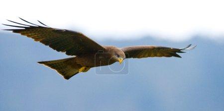 Predatory bird flies to prey