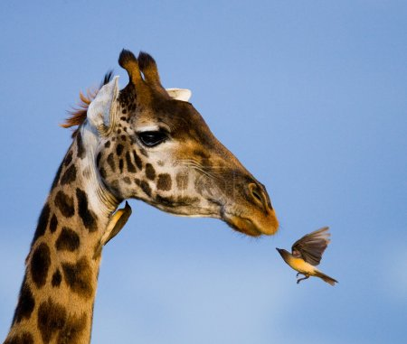Giraffe and bird close up