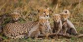 Gepárd család szabadban