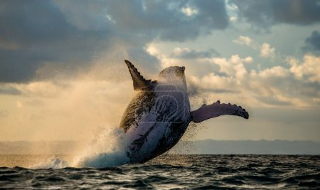 Jump humpback whale. Madagascar. The water area of...