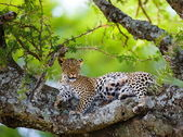 Cheetah lies on a tree