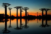 Baobabs at sunrise background