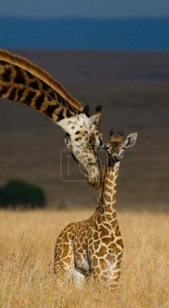 Giraffes in savanna outdoors