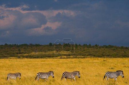 Zebras on the background of a stormy sky