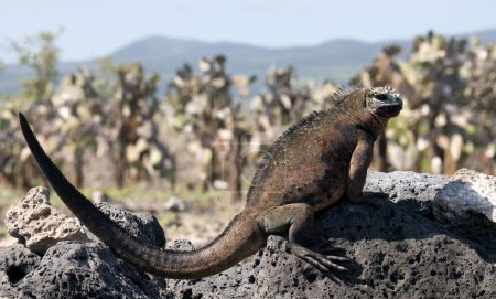 Photo for Galapagos marine iguana, Galapagos, Santa Cruz Island - Royalty Free Image