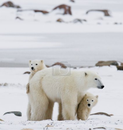 Polar bear with cubs