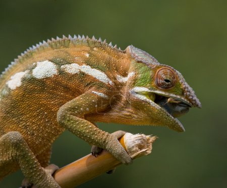 Chameleon on the branch close up