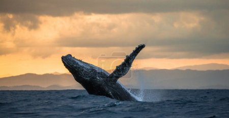 Massive humpback whale playing in water captured f...