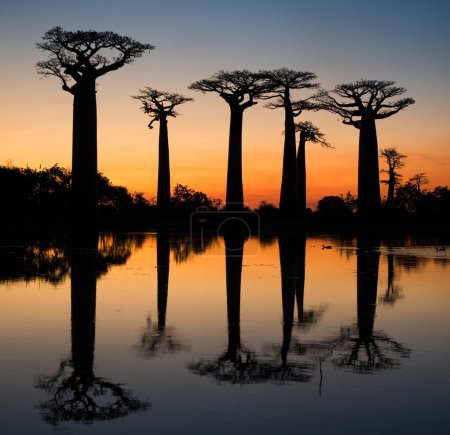 Baobabs on the sky background