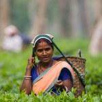 INDIA,ASSAM, APRIL,13, Portrait of smiling indian woman on tea plantation, India, Assam,13.04.2011,