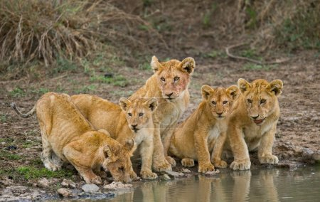 Little lions drinking water
