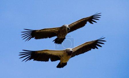 Falcons flies and blue sky