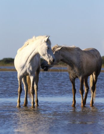Two gorgeous white horses