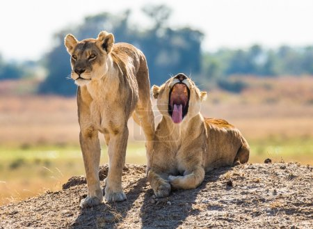 Two wild  lionesses