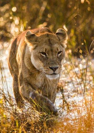Female lion running in water