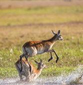 Herd of african deer running