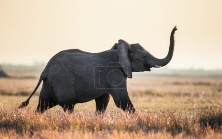 African elephant running in savanna