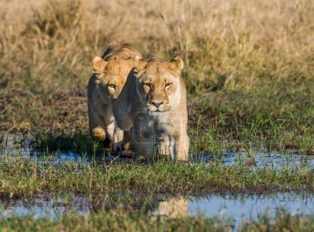 Two lions hunting in savanna swamp
