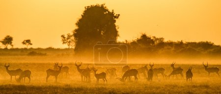 Herd of gazelles grazing at sunset