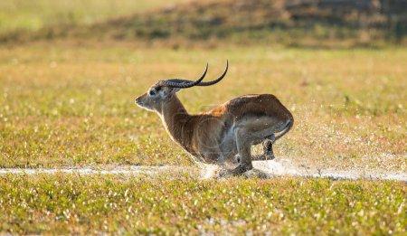 Adult gazelle running in savanna