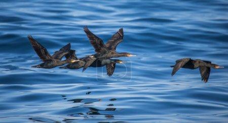 Photo pour Oiseaux de mer noirs volant au-dessus de l'eau claire et bleue avec des vagues - image libre de droit