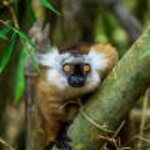 Lemur sitting on branch in Madagascar jungle