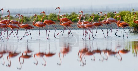 The pink Caribbean flamingos