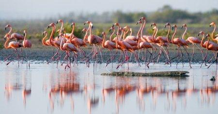 The pink Caribbean flamingos
