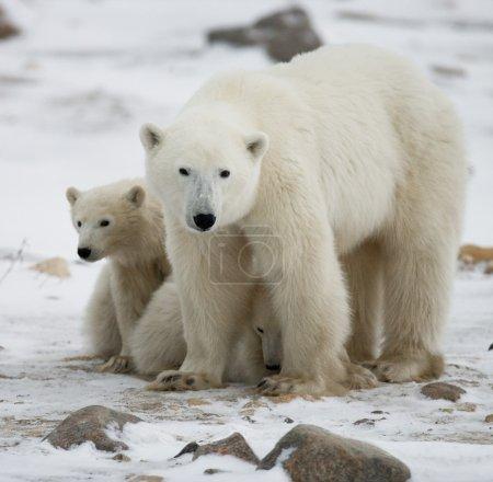 Photo pour Mère ours polaire avec deux enfants ours sur la toundra enneigée. (Ursus maritimus ) - image libre de droit
