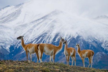 Photo pour Lamas sauvages - guanaco, (Lama guanicoe), dans les terres de montagne - image libre de droit