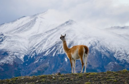 Foto de Llama silvestre - guanaco, (Lama guanicoe ) - Imagen libre de derechos
