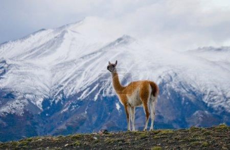 Wild llama - guanaco,