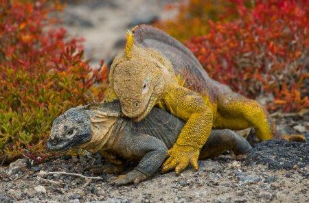 Land Iguana on Galapagos Islands