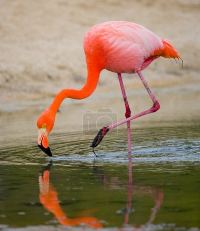 A portrait of a greater flamingo