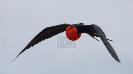 Photo for Frigate bird Frigate bird in flight. Galapagos Islands. An excellent illustration. South America. - Royalty Free Image