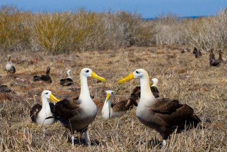 Waved Albatross on the Galapagos Islands