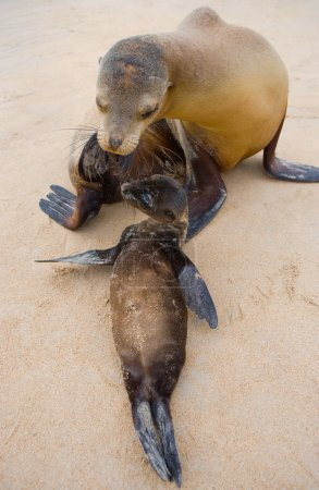 Sea lions on sand beach