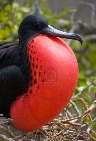 Frigate bird on a nest