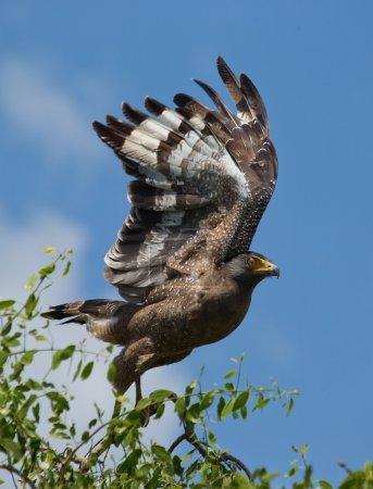 Photo for Fish eagle in Sri Lanka on blue sky background - Royalty Free Image