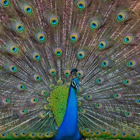 Photo for One Peacock in the wild on the island of Sri Lanka - Royalty Free Image