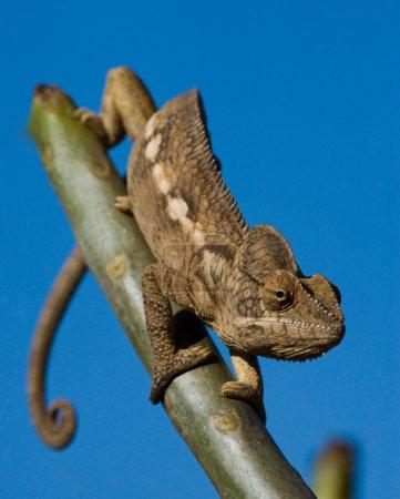 chameleon lizard close up