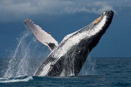 Photo pour Baleine sautant dans les airs (Megaptera novaeangliae), Afrique, Madagascar - image libre de droit