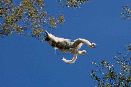 Dancing Sifaka jumping