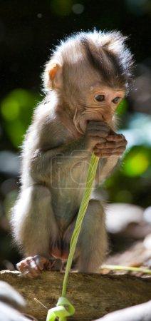 Photo pour Bébé Macaque tenant une feuille verte. Indonésie. L'île de Bali. - image libre de droit