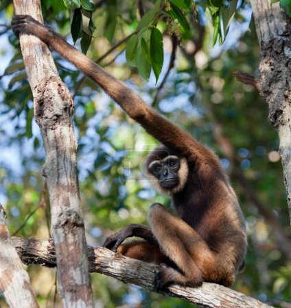 Gibbon sitting on the tree