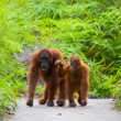 Two Orangutans  Indonesia. The island of Borneo (K...