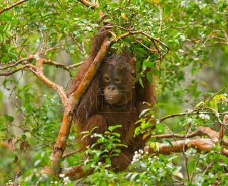 Orangutang (Pongo) baby. Indonesia.