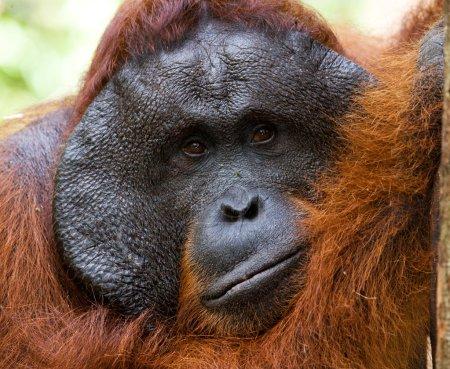 Photo pour Portrait de l'orang-outan mâle alpha, Indonésie. L'île de Bornéo (Kalimantan), Tanjung Puting réserve - image libre de droit