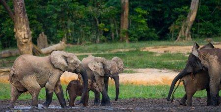 Photo pour Troupeau d'éléphants dont un veau dans un abreuvoir, éléphants de forêt de la République centrafricaine. Réserve Dzanga Sanga.Éléphants de forêt . - image libre de droit