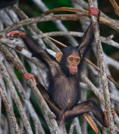 Photo pour Funny chimpanzé (parfois appelé chimpanzés) République du Congo. Parc national Konkuati-Dole - image libre de droit